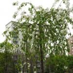 Rozkvitnutá jabloň na streche stojiska