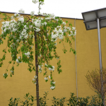 Rozkvitnutá jabloň na streche kontajnerového stojiska